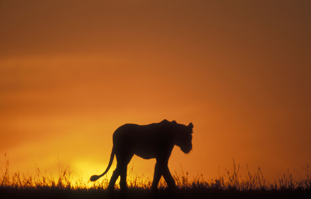 Silhouette of a lion walking across savanna at dawn in the Masai Mara Game Reserve in Kenya. (Photo by Paul Souders/Danita Delimont/Caters News/Ardea)