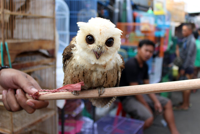 A vendor holds an owl for sale at Jatinegara bird market in Jakarta, Indonesia, September 1, 2014. Many buyers from different regions come to the Jatinegara market either to buy or sell animals, even some endangered species. Sales of endangered animals becomes a major problem in Indonesia, especially as some endangered species are sold at a very cheap price. (Photo by Adi Weda/EPA)