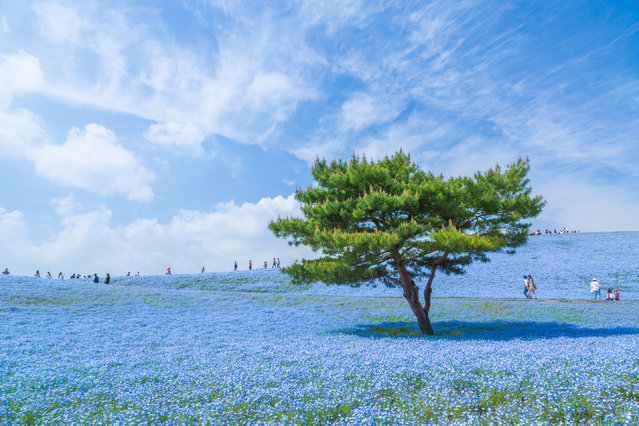 """""""The Blue Universe"""". I took this picture at Hitachi Seaside Park in Ibaraki Prefecture, Japan. The flowers are nemophila and the whole number of it in the park is 4.5 millions. The best season is usually from the end of April to the first week of May. I wish to go into the blue universe again next year to photograph. Photo location: Ibaraki, Japan. (Photo and caption by Hiroki Kondo/National Geographic Photo Contest)"""