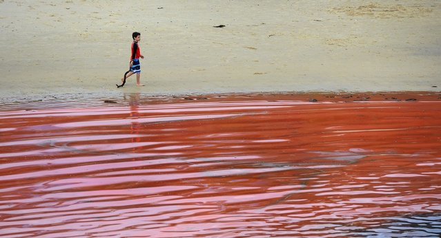 A boy walks pas a red algae bloom discolouring the water at Sydney's Clovelly Beach on November 27, 2012, which closed some beaches for swimming including Bondi Beach for a period of time.  While the red algae, known as Noctiluca scintillans or sea sparkle, has no toxic effects, people are still advised to avoid swimming in areas with discoloured water because the algae, which can be high in ammonia, can cause skin irritation. (Photo by William West/AFP Photo)