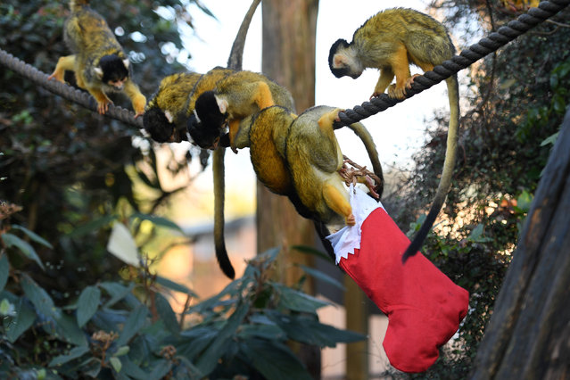 Squirrel Monkeys in London Zoo look for treats inside a Christmas stocking in their enclosure in London, Britain, December 14, 2017. (Photo by Clodagh Kilcoyne/Reuters)