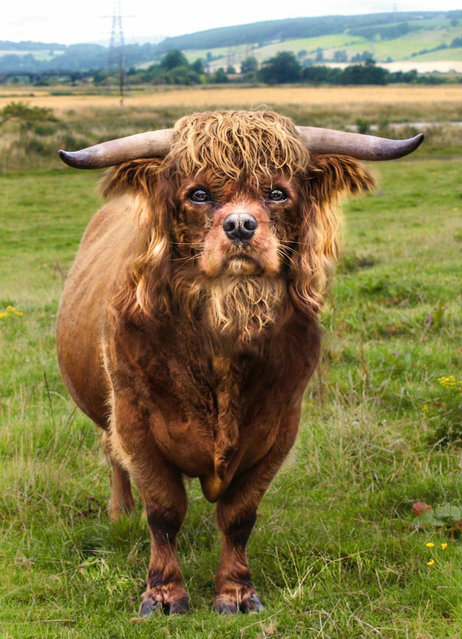 Cross between a spaniel and a bull – King Charles Spanbull. (Photo by Sarah DeRemer/Caters News)