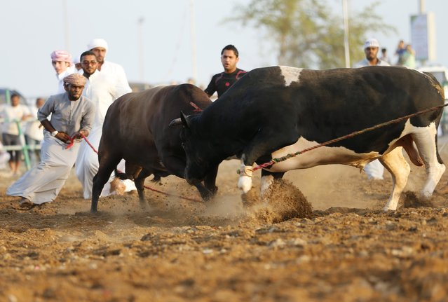 Men pull ropes to stop two bulls from locking horns during a bullfight in the eastern emirate of Fujairah October 17, 2014. (Photo by Ahmed Jadallah/Reuters)