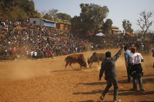 In this January 15, 2018, photo, Nepalese people gather to watch bulls fight during the Maghe Sankranti bull fight festival in Taruka, Nuwakot, 60 kilometers (37 miles) east of the capital, Kathmandu, Nepal. In this sleepy mountain village in Nepal, bulls face off for one day every year, locking horns in a quest for victory and prize money. For most of the year these bulls' lives are easy. They don't pull plows or wagons. They are fed eggs, rice, corn and butter milk. Then, for one day they fight, lowering their heads and locking horns as thousands of people cheer from the hillsides. (Photo by Niranjan Shrestha/AP Photo)