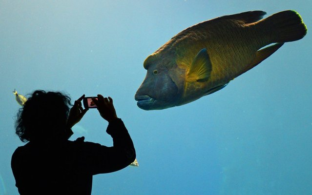 A woman takes a photo of a fish in a newly opened Africarium in Wroclaw zoo, an oceanarium complex presenting various ecosystems connected with water environment of Africa on November 19, 2014. (Photo by Janek Skarzynski/AFP Photo)