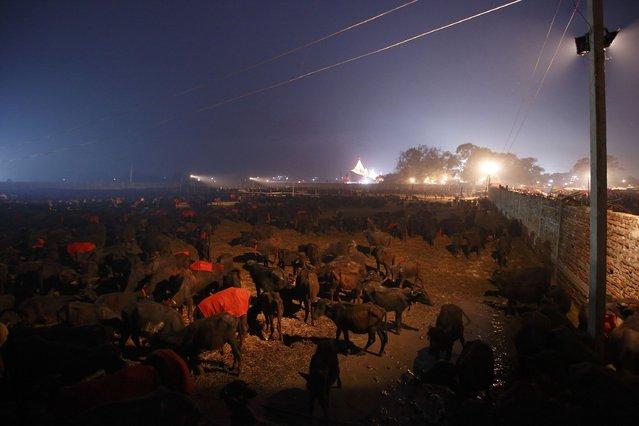 "Buffaloes are gathered in an enclosure for buffalos awaiting sacrifice on the eve of the sacrificial ceremony for the ""Gadhimai Mela"" festival in Bariyapur November 27, 2014. (Photo by Navesh Chitrakar/Reuters)"