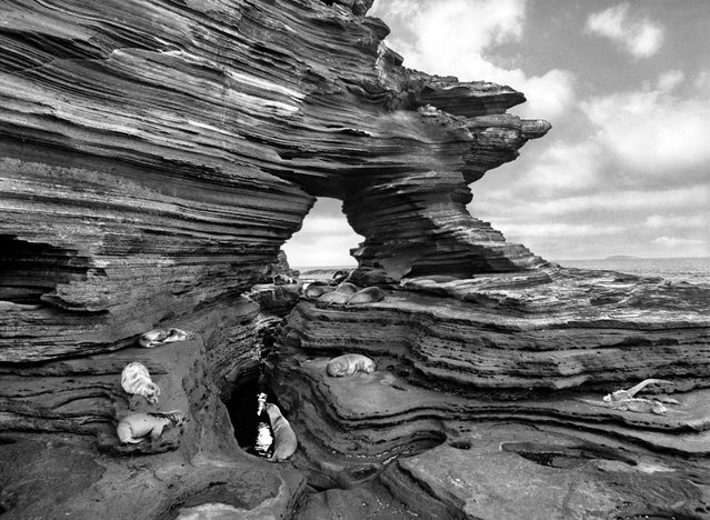 Sea lions rest on shelves of compacted volcanic ash on Santiago Island, part of the Galapagos chain made famous by Charles Darwin. (Photo by Sebastião Salgado/Amazonas/Contact Press Images)