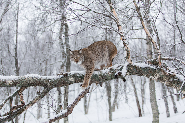 But there is some good news: conservation measures including the preservation of habitat and strict controls on hunting have led to population increases in Europe for the brown bear, grey wolf and Eurasian lynx (pictured), which has increased by 495% since 1963. (Photo by Jamen Percy/Alamy Stock Photo)