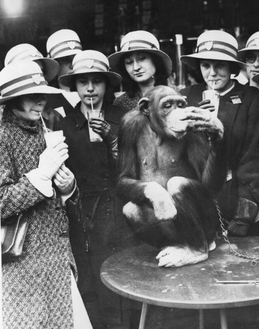 School children on a trip to London Zoo stop for a beverage break. Fi-Fi the chimpanzee is happy to join in. 28th May 1936. (Photo by Fox Photos/Getty Images)