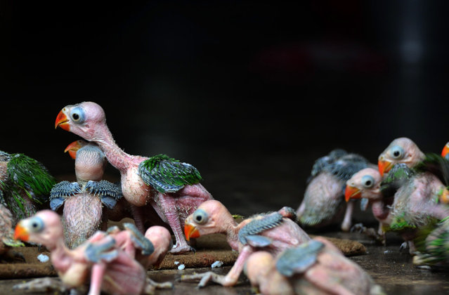 Baby Parrot are seen after they were caught and preserve by local hunter for sale at a private resident in Dimapur. (Photo by Caisii Mao/NurPhoto/Sipa USA)