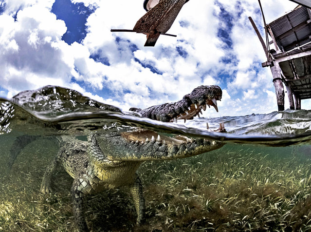 """One picture shows me with a crocodile who decided to swim towards me unexpectedly, so I had to drop on my back since there was little time to move out the way and allow the croc to swim over me"". (Photo by Alex Suh/Caters News Agency)"