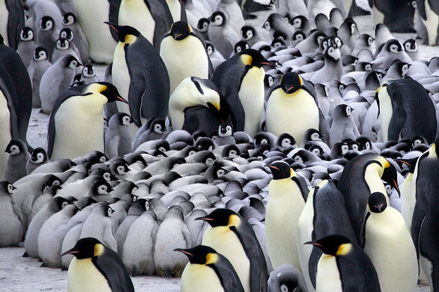 Emperor penguin chicks huddle for warmth. (Photo by Frederique Oliver/Caters News)