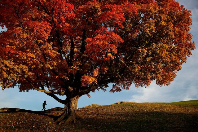 A woman passes by an oak tree displaying fall colors on the grounds of the National World War I Museum Monday, October 29, 2018, in Kansas City, Mo. (Photo by Charlie Riedel/AP Photo)