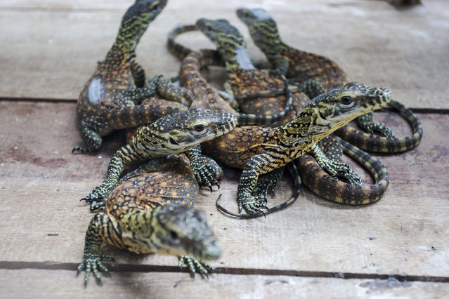 Several baby Komodo dragons (Varanus Komodensis) in a quarantine room of Surabaya zoo in Surabaya, East Java, Indonesia, March 19, 2015. Twelve Komodo eggs from a total 29 eggs have hatched in the last 2 months at Surabaya zoo, official said. The Komodo dragon is a protected species of which only approximately 4000 to 5000 living in the wild. (Photo by Fully Handoko/EPA)