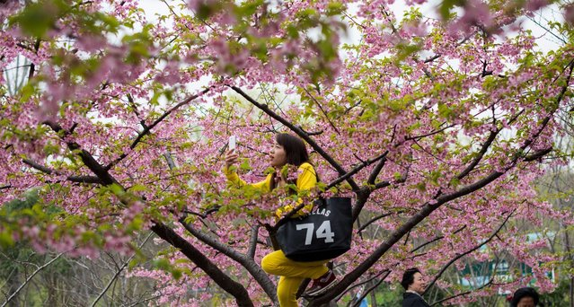 """A young woman takes a """"selfie"""" in a tree during the first day of the nearly one month-long Cherry Blossom Festival in Gucun Park in northern Shanghai on March 18, 2015. (Photo by Johannes Eisele/AFP Photo)"""
