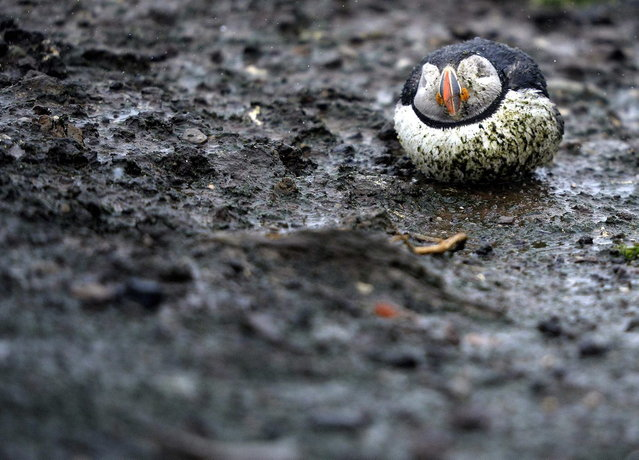 A puffin sits in the rain on the Farne Islands off the Northumberland coast, northern England May 15, 2013. (Photo by Nigel Roddis/Reuters)