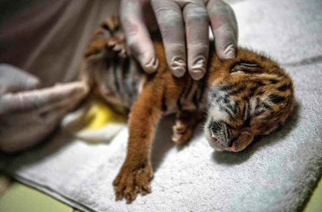 A three-day-old Bengal tiger calf is cared for after being fed at the National Zoo in Masaya on August 30, 2021. A female Bengal tiger calf was born in the National Zoo of Nicaragua, the fourth of this species in risk of extinction born in captivity in the country, and is under special care due to a limited breastfeeding capacity of the mother. (Photo by Inti Ocon/AFP Photo)
