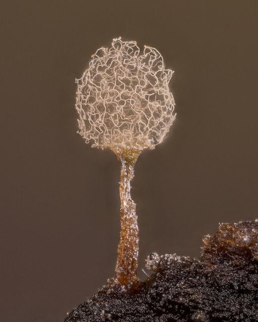 20th place: slime mould (Arcyria pomiformis). (Photo by Alison K. Pollack/Nikon Small World Photomicrography 2021)