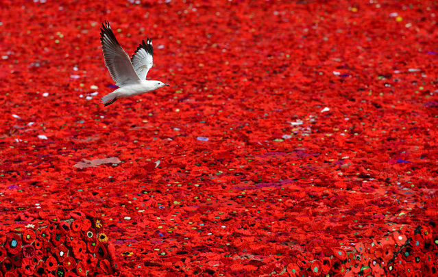 A seagull flys over a sea of poppies blanketing Federation Square as part of the 5,000 Poppies project to commemorate the centenary of ANZAC, in Melbourne, Australia, April 24, 2015. Upcoming April 25, 2015 marks the centenary of the landing of Australian and New Zealand Army Corps (ANZAC) troops at Gallipoli during World War I. (Photo by Tracey Nearmy/EPA)