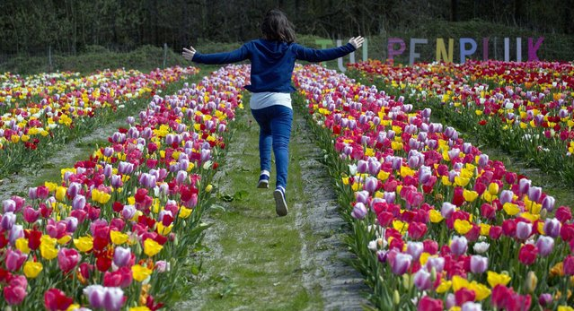 A young girl runs through a tulip field in Berendrecht, Belgium on Saturday, April 18, 2015. The tulip field will open on Sunday to the general public, and each person will be permitted to pick a bouquet of ten tulips to take home. (Photo by Virginia Mayo/AP Photo)