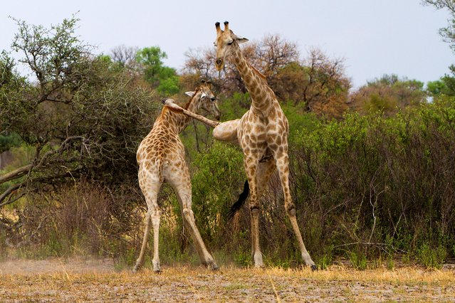 The Kung Fu King was spotted in Botswana, Africa, as the two giraffes fought for dominance. Thomas Retterath, 53, says hes often seen the mammals fight, but they usually do it by banging their heads against each others bodies.Here: A giraffe lands a karate kick on a rival on the plains of Botswana. (Photo by Thomas Retterath/Caters News)