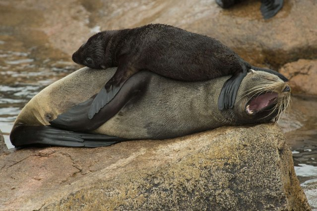 A fur seal pup is seen on top of its mother at Isla de Lobos, a small island located about 8 km off the coast of Punta del Este, 140 km east of Montevideo, on March 19, 2014. A slaughterhouse operated in the island until 1991, and since then is the main reserve in South America to fur seals (Arctocephalus australis) and sea lions (Otaria flavescens). (Photo by Pablo Porciuncula/AFP Photo)