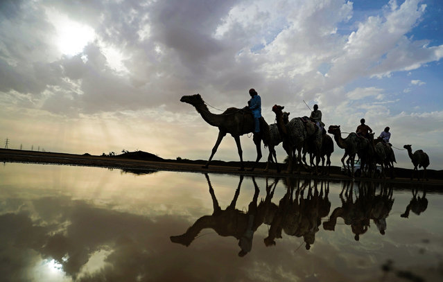 Racing camels are seen on their way to a training session following a raining day in Al-Ain near the United Arab Emirates-Oman border on March 24, 2017. (Photo by Karim Sahib/AFP Photo)