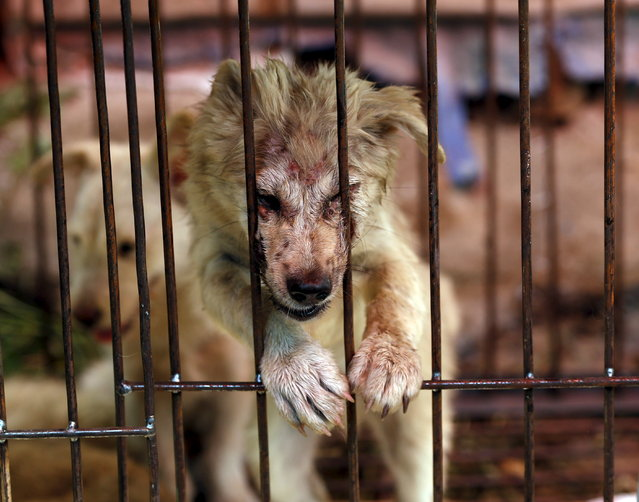 A dog which was purchased by animal right activists in order to rescue it from dog dealers, is seen in a cage nearby a dog trading market in Yulin, Guangxi Autonomous Region, June 20, 2015. (Photo by Kim Kyung-Hoon/Reuters)