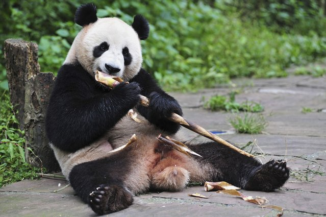 Giant Panda Hu Bao eats bamboo at Bifengxia base in Ya'an, Sichuan province, in this file photo taken September 3, 2012. Researchers have found that the giant panda is downright miserly in the amount of energy it expends on a daily basis – a level similar to that of the famously sluggish three-toed sloth – thanks to low levels of physical activity and low levels of thyroid hormones. (Photo by Reuters/China Daily)