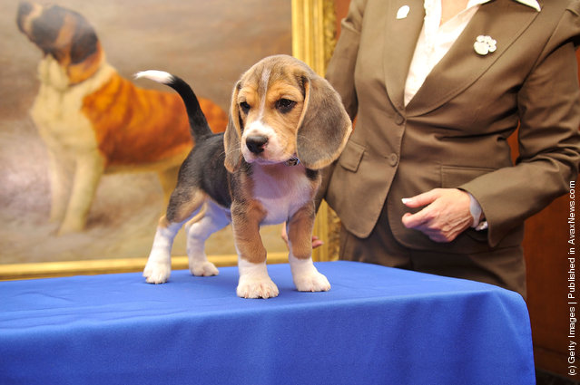 Jag, a Beagle puppy attends as American Kennel Club announces Most Popular Dogs in the U.S. at American Kennel Club Offices