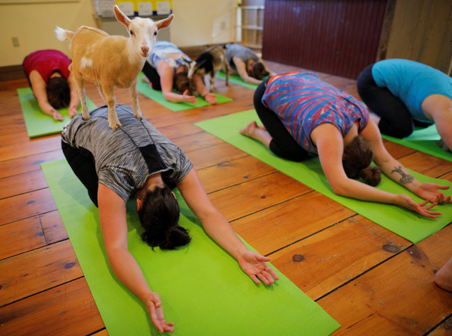 A goat climbs on Kylie Kennedy during a yoga class with eight students and five goats at Jenness Farm in Nottingham, New Hampshire, U.S., May 18, 2017. Tucked away in a wooded corner of southern New Hampshire, Jenness Farm draws yoga enthusiasts seeking to practice poses while goats climb around and sometimes on them. (Photo by Brian Snyder/Reuters)