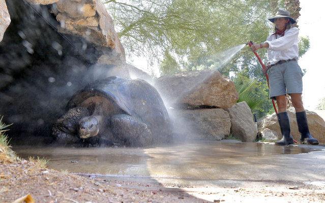 """Reptile Manager Paula Swanson sprays down """"Jake"""", a galapagos tortoise at the Phoenix Zoo, Thursday, July 24, 2014 in Phoenix. With Phoenix-area daytime highs hovering around 110, zoo officials use a variety of frozen snacks and spring to keep the animals cool. (Photo by Matt York/AP Photo)"""