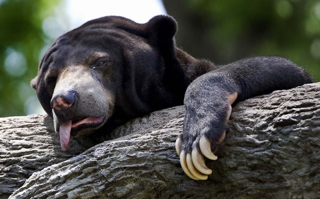 A sun bear reacts to triple-digit temperatures at the Henry Doorly Zoo in Omaha, Nebraska, where the temperature reached 103 degrees Fahrenheit