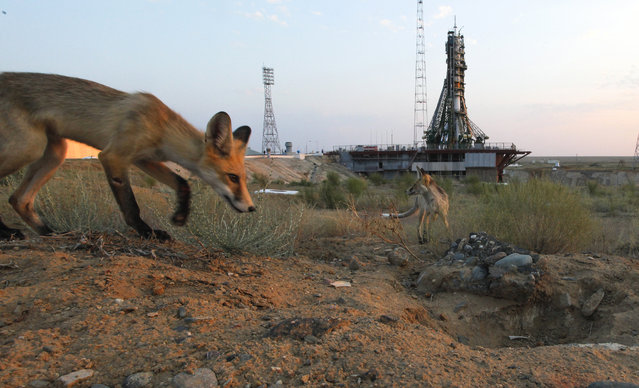 Wild foxes walk in front of a launch pad prior the launch of the Soyuz-FG rocket booster with Soyuz MS space ship carrying a new crew to the International Space Station, ISS at the Russian leased Baikonur cosmodrome, Kazakhstan, Thursday, July 7, 2016. The Russian rocket carries U.S. astronaut Kate Rubins, Russian cosmonaut Anatoly Ivanishin, and Japan astronaut Takuya Onishi. (Photo by Dmitri Lovetsky/AP Photo)