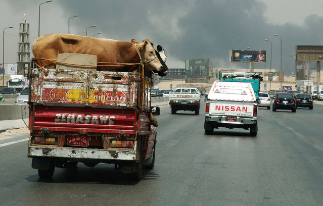 A truck loaded with cows is driven to the slaughterhouse during the holy month of Ramadan in Cairo, Egypt June 8, 2016. (Photo by Amr Abdallah Dalsh/Reuters)