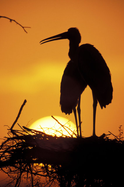 A painted stork at sunset. (Photo by Peter Skinner/Danita Delimont/Caters News/Ardea)