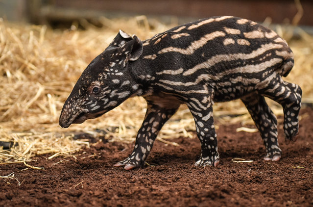 Solo, a rare baby tapir, makes his debut at Chester zoo, UK on July 18, 2016. The Malayan tapir is an endangered species and Solo is the first ever calf born at the zoo. (Photo by Chester Zoo/Rex Features/Shutterstock)