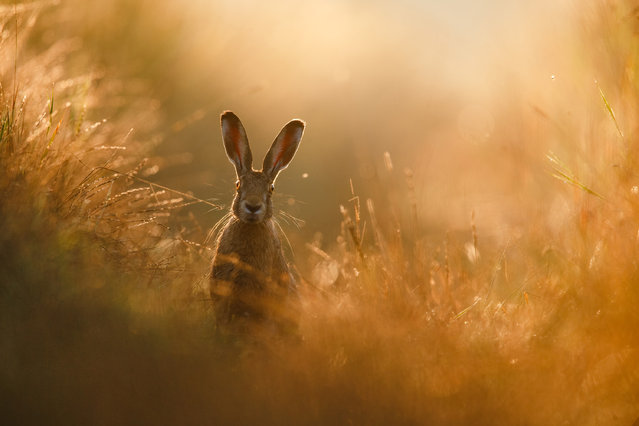 Overall winner. Peter Lindel – A Hare's Dream. European hare in the north of Dortmund. (Photo by Peter Lindel/2020 GDT Nature Photographer of the Year)