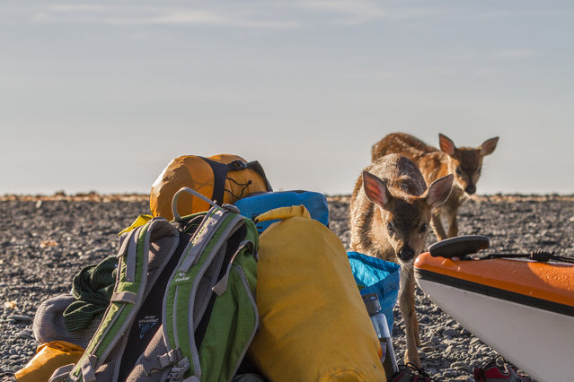 Black sitka deer inspects Daniel Fox's camp, in July 2014, in Kodiak Island, Alaska. Driving in an open-roofed jeep is no longer the fashionable way to see wildlife – as this adventurer shows. (Photo by Daniel Fox/Barcroft Media)