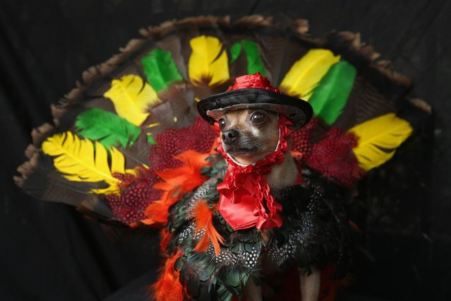 Eli, a Chihuahua, poses as a Thanksgiving turkey at the Tompkins Square Halloween Dog Parade on October 20, 2012 in New York City
