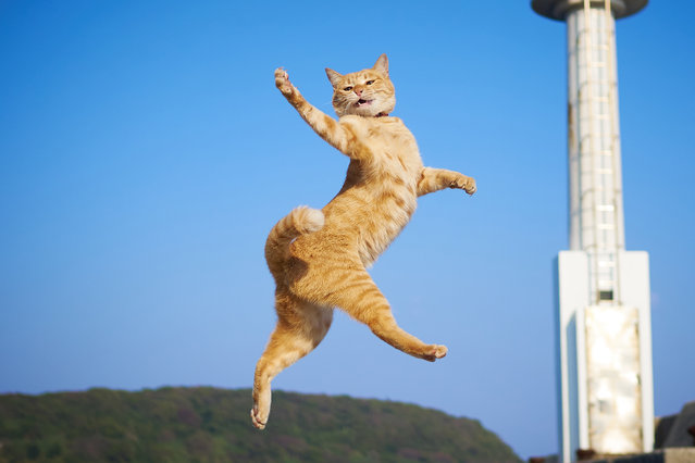 Using his own rapid-fire reactions, Hisakata Hiroyuki photographs the lovable cats flying through the air, their legs and paws outstretched, like something out of an action movie. (Photo by Hisakata Hiroyuki/Caters News Agency)
