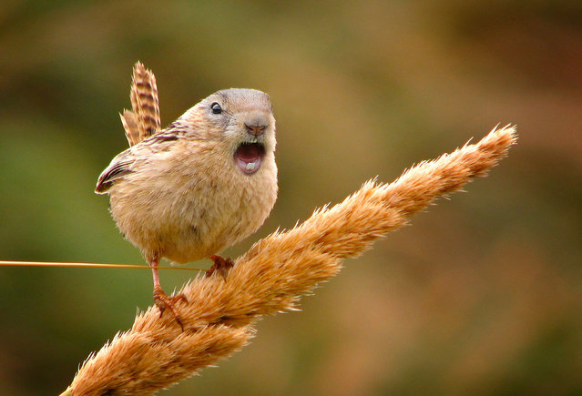 Cross between a chipmunk and a sparrow. (Photo by Sarah DeRemer/Caters News)