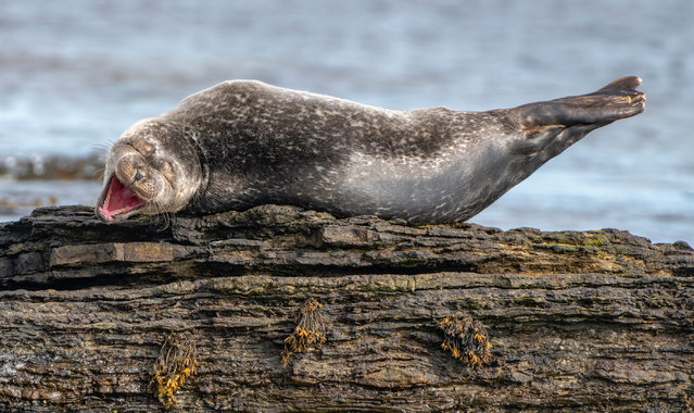 "Having a laugh, Caithness, Scotland. ""A young common seal chills out on a rock in Sinclair Bay, its thick layer of blubber moulding into the contours of the rock. Looking as if it is enjoying a really good joke, the seal is, in fact, yawning"". (Photo by Ken Crossan/Comedy Wildlife Photography Awards 2020)"