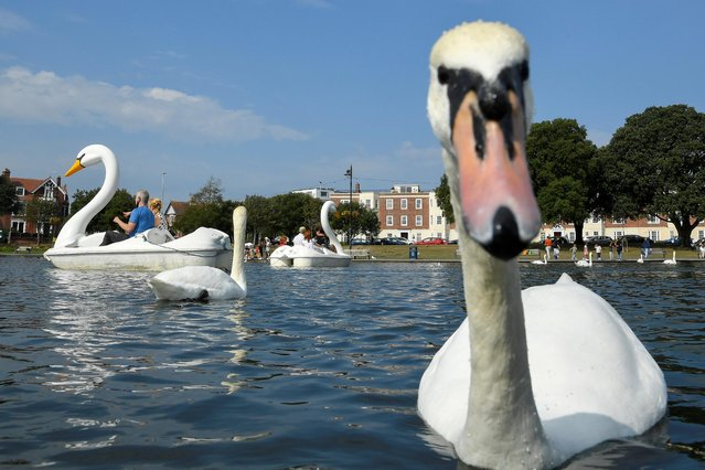 People on swan-shaped pedal boats are seen riding near actual swans on a boating lake, in Southsea, southern Britain, September 20, 2020. (Photo by Toby Melville/Reuters)
