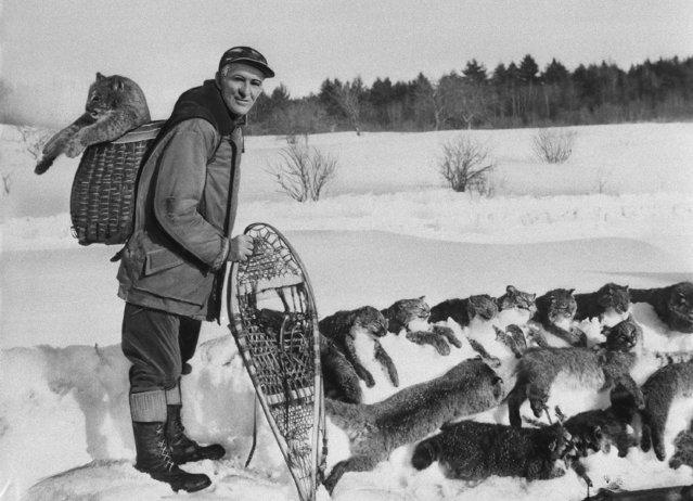 An unidentified trapper is kept busy catching bobcats, December 5, 1955. (Photo by AP Photo)
