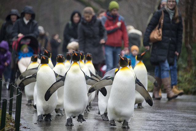 Visitors follow king penguins (aptenodytes patagonicus) as they march through the Zoo in Basel, Switzerland, Thursday, December 18, 2014. The king penguins are only let outdoors for a walk in the winter, because they naturally require low temperatures. (Photo by Georgios Kefalas/AP Photo/Keystone)