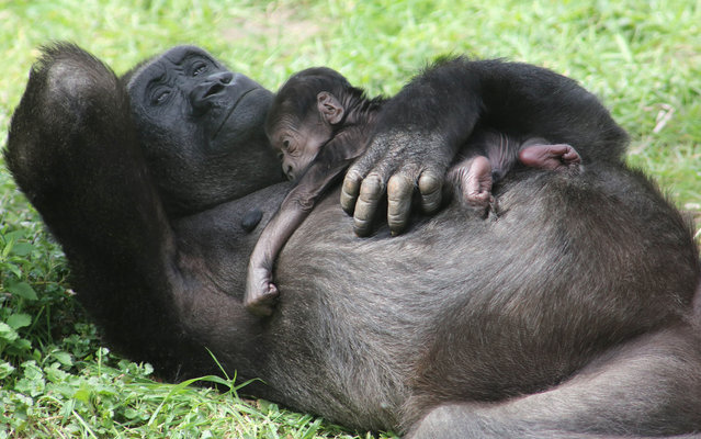 Baby gorilla born at the Burger's Zoo in Arnhem (Netherlands), relax on the lap of her mother on the lawn, on April 25, 2013. (Photo by Action Press/Honopix/Estadão Conteúdo)