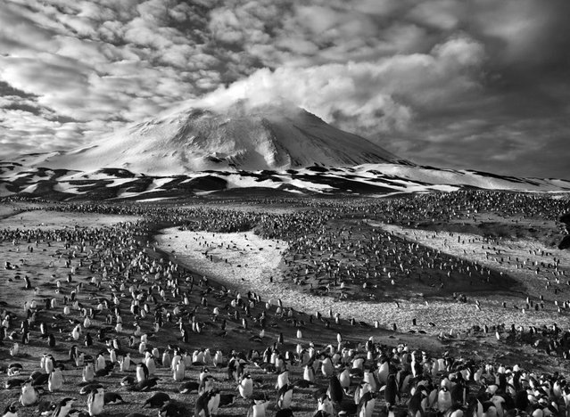The earth's largest concentration of penguins inhabits tiny Zavodovski Island, one of the nine volcanic islands in the South Sandwich chain, in the far South Atlantic. A 1997 survey estimated that it's home to about 750,000 chinstrap penguin couples as well as a large colony of macaroni penguins. The island's active volcano is visible in the background. (Photo by Sebastião Salgado/Amazonas/Contact Press Images)