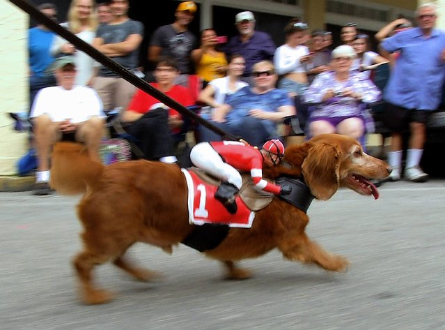 A dachshund portraying a racehorse, trots down Duval Street in Key West, Florida, December 31, 2014. About 175 dachshunds and other dogs participated in the event that preludes four warm-weather takeoffs on New York City's Times Square ball drop. (Photo by Steve Panariello/Reuters/Florida Keys News Bureau)