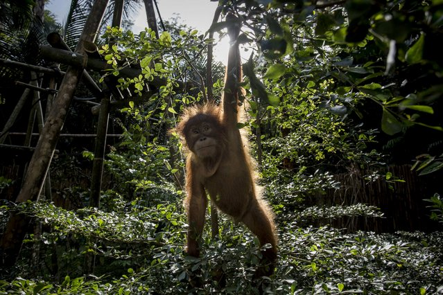 A Baby sumatran orangutan (Pongo abelii) plays around in a tree as they train at Sumatran Orangutan Conservation Programme's rehabilitation center on November 12, 2016 in Kuta Mbelin, North Sumatra, Indonesia. The Orangutans in Indonesia have been known to be on the verge of extinction as a result of deforestation and poaching. Found mostly in South-East Asia, where they live on the islands of Sumatra and Borneo, the endangered species continue to lose their habitat as a result of corporate expansion in a developing economy. Indonesia approved palm oil concessions on nearly 15 million acres of peatlands over the past years and thousands of square miles have been cleared for plantations, including the lowland areas that are the prime habitat for orangutans. (Photo by Ulet Ifansasti/Getty Images)